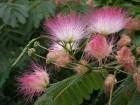 Albizia julibrissin (Albicija) 30 semenki