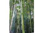 Bambus sadnice(Phyllostachys aurea)