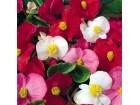 Begonia semperflorens mix (250 semenki)
