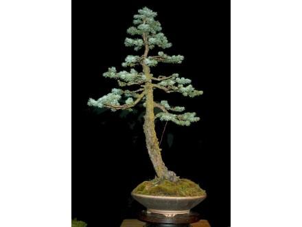 Bela smrča (Picea Glauca), 10 semenki