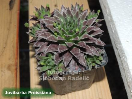 Čuvarkuća, Jovibarba Preissiana, tri rozete