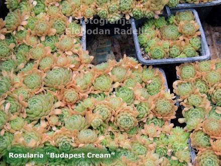 Čuvarkuća - Rosularia `Budapest Cream`, dve rozete