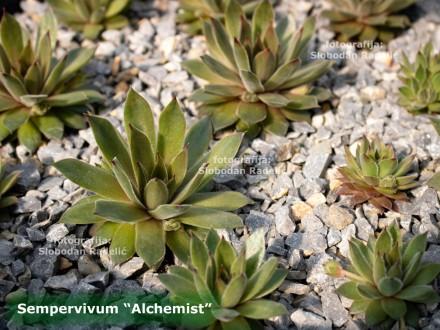 Čuvarkuća, Sempervivum `Alchemist`, jedna rozeta