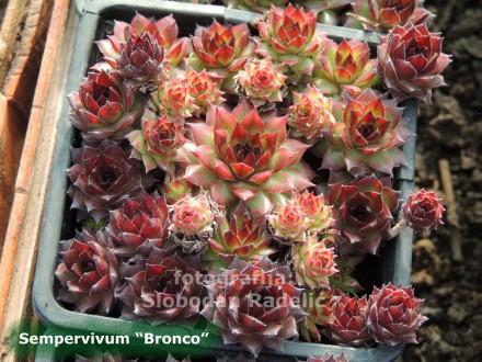 Čuvarkuća, Sempervivum `Bronco`, dve rozete