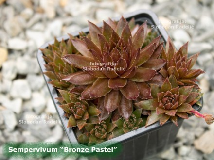 Čuvarkuća, Sempervivum `Bronze Pastel`, dve rozete