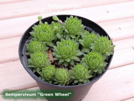 Čuvarkuća, Sempervivum `Green Wheel`, tri rozete