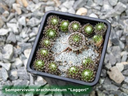 Čuvarkuća, Sempervivum `Laggeri`, tri rozete