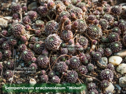 Čuvarkuća, Sempervivum `Minor`, dve rozete