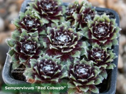 Čuvarkuća, Sempervivum `Red Cobweb`, jedna rozeta