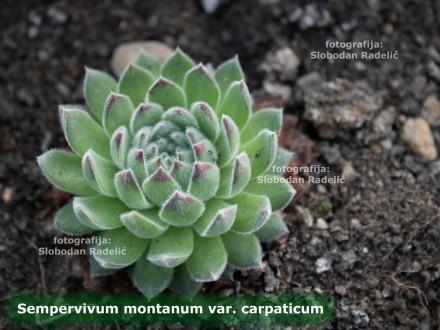 Čuvarkuća, Sempervivum mont. var. carpat. jedna rozeta