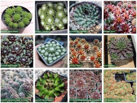 Čuvarkuće, miks 11 vrsta, ukupno više od 23 rozete