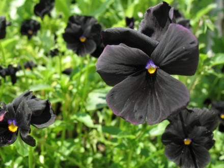 Dan i noć (Viola) `Black Devil`, 20 semenki