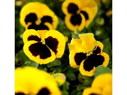 Dan i noć (Viola) `Swiss Yellow`, 20 semenki