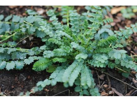 Dinjica, Sanguisorba minor, 1g (oko 110+ semenki)