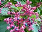 Drvo sudbine (Klerodendron) 5 semenki
