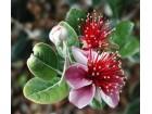 Feijoa sellowiana (5 semenki)
