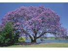 Jacaranda Mimosifolia (10 semenki)