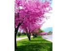 Judino drvo (Cercis siliquastrum) 20 semenki