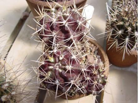 Kaktusi Neoporteria jussieui, 5 semenki
