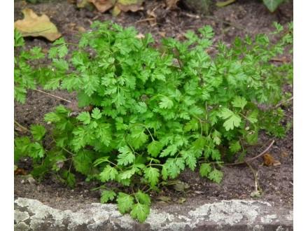 Krbuljica (Krasuljica) obična, 1g (oko 500 semenki)