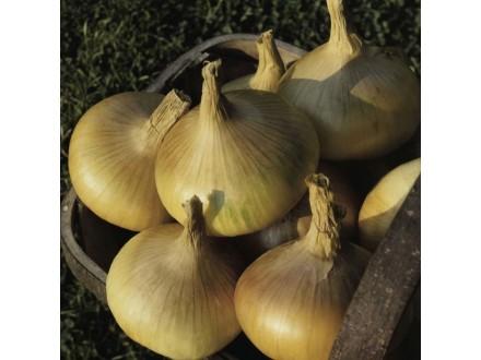 Luk žuti `Senshyu`, 0,5g (oko 150 semenki)