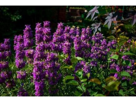 Monarda Citriodora (Purplish Lilac), oko 100 semenki