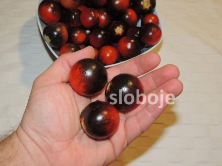 Paradajz, `Indigo Blue` čeri, 0,1g (oko 40 semenki)