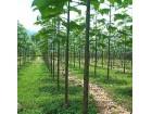 Paulownia elongata (500 semenki)