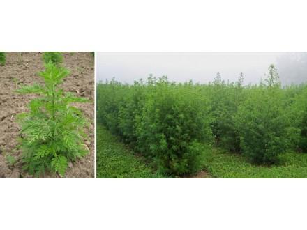 Pelin slatki (Artemisia Annua), 0,1g (oko 1400 semenki)