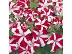 Petunia grandiflora (Frenzy Star F1) 15 semenki