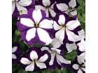 Petunia pendula grandiflora F1 (plava) 50 semenki
