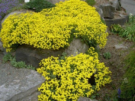 Planičak `Corbeille D`or`, 0,1g (oko 100 semenki)