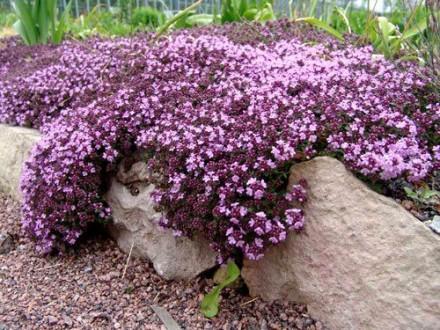 Planičak `Violet Queen`, 0,1g (oko 300 semenki)