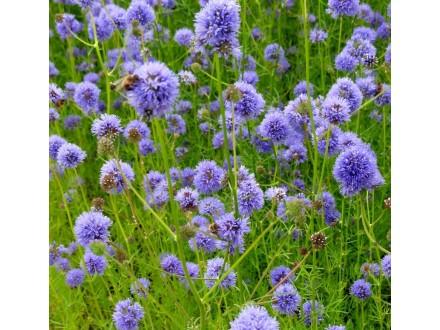 Plava gilija (Gilia Capitata), 40 semenki