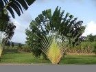 Ravenala madagascariensis/Traveller`s Palm