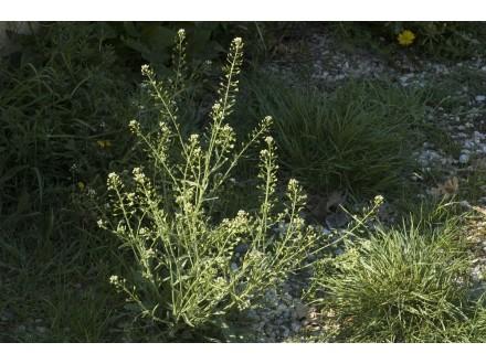 Rusomača, 0,2g (oko 2000 semenki)