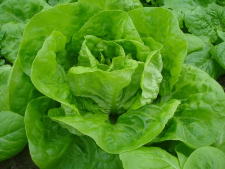 Salata `Nansen`, 0,5g  (oko 500 semenki)