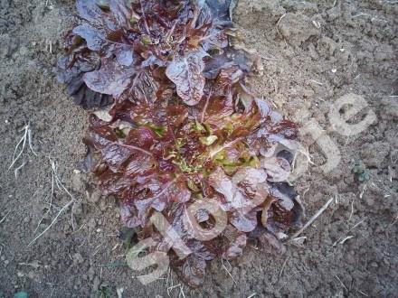 Salata crvena `Red Sails`, 1g  (oko 1000 semenki)