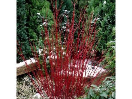 Šarenolisni Sibirski dren ---  ( Velika biljka )