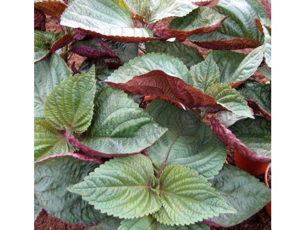 Šiso dvobojni (Perilla F.) 0,5g (oko 150 semenki)