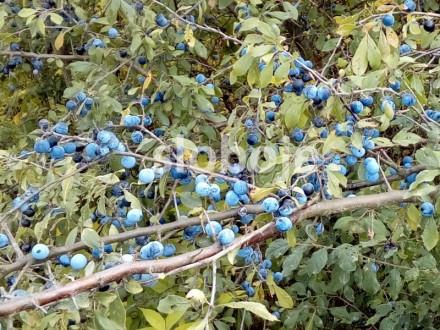 Trnjina (Prunus spinosa), 25 semenki