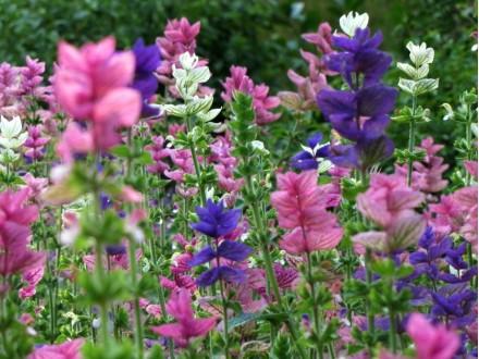 Ukrasna žalfija (Salvia viridis), 25 semenki