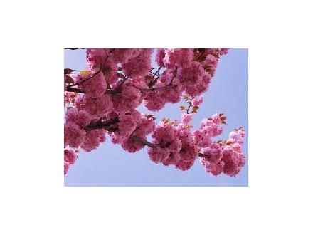 japanska trešnja sadnice (Prunus serrulata)