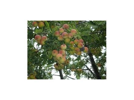 oskoruša(Sorbus domestica)