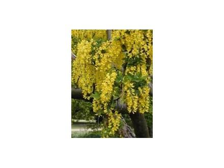 žuti bagrem (Laburnum anagiroides)