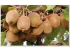 Actinidia deliciosa Bruno (kivi sadnice), Vlasotince