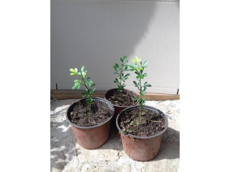 Sibirski limun 5 sadnice (Poncirus trifoliata)
