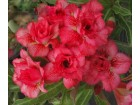 Adenijum Obesum Triple formaza biljka