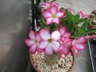 Adenium obesum-pustinjska ruža biljka