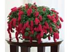 Akalifa hispida - acalypha hispida-biljka u cvetu